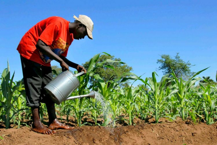 A farmer watering maize
