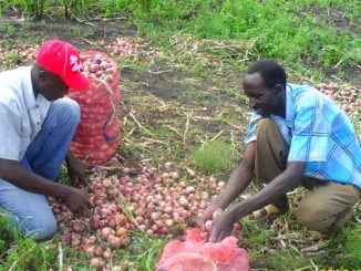 Onion farmers cry foul over fake seeds