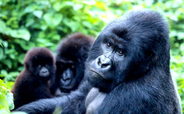 Gorilla tracking in Bwindi Impenetrable National Park