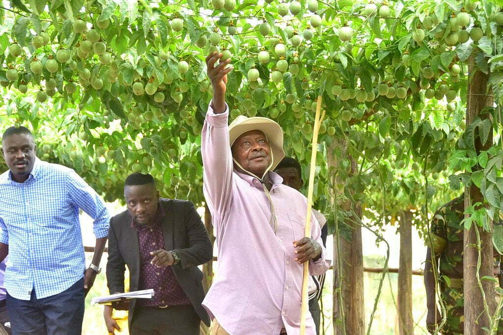 President Museveni harvesting passion fruits