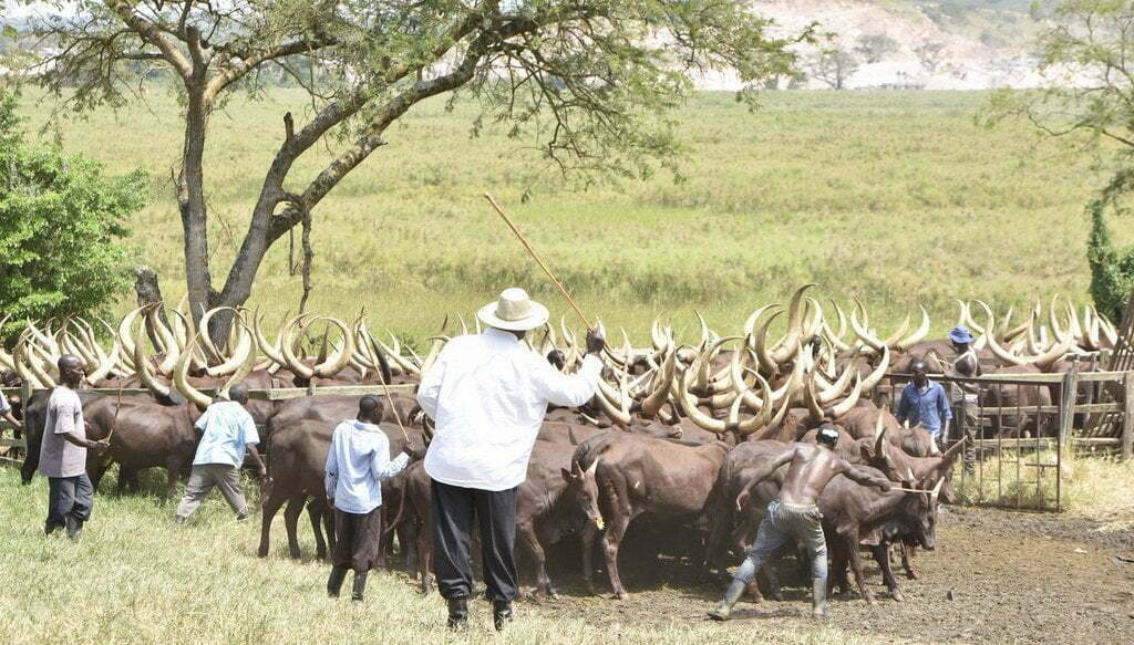 President Musevi hearding cattle at his farm in Kisozi