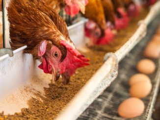 High cost of chicken feeds worries farmers in Ankole region