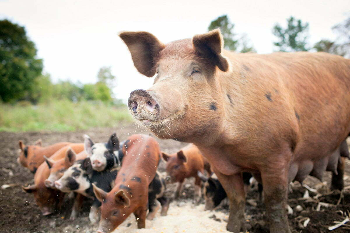 pig farmers suspected of feeding pigs with antiretroviral, ARV drugs