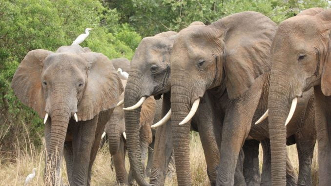 UWA digging deep trenches to tame marauding elephants in Oyam from Murchison Park
