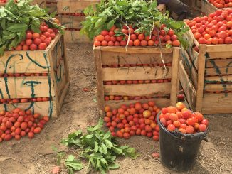 Tomato suppliers in protest against exploitation by middlemen