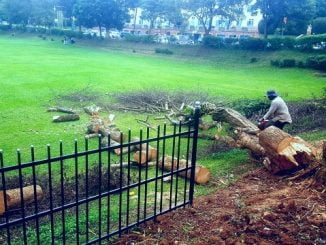 Tree cutting at Makerere University angers environmentalists