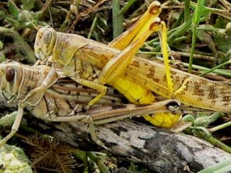 Moroto district seeks UGX 230m for desert locusts surveillance