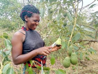 Uganda MPs want NAADS to distribute Hass avocado seedlings to farmers