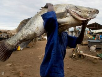 Nile Perch is Uganda's best selling fish export.