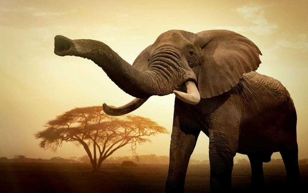 Elephants are killed by poachers at Queen Elizabeth National Park for their ivory tusks