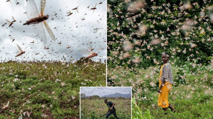 Large swarms of locusts expected to invade Uganda