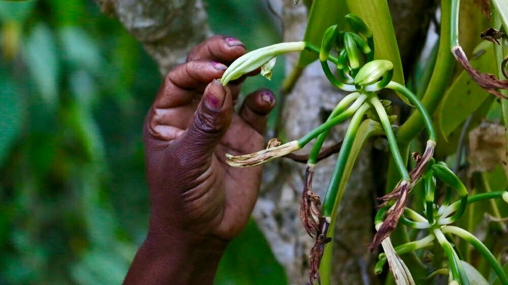 Vanilla farmers in Uganda braces for prices to drop