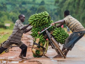 Matooke farmers in Ankole frustrated over low banana prices