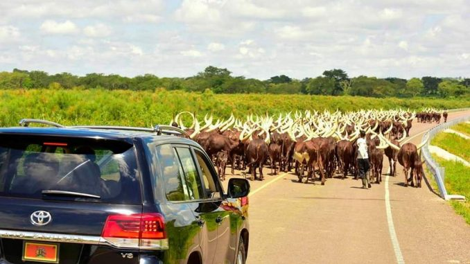 President-Musevenis-cows-walking-on-tarmac-road