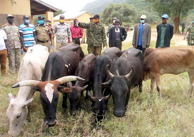 Recovered-cattle-in-Lamwo