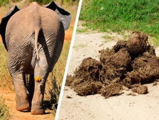 elephant-dung