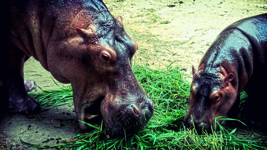 two hippopotamuses