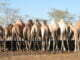 Camels taking water on the water trap in Kobebe water dam in Moroto