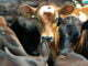 FMD Outbreak: 50,000 cows, 15,000 goats vaccinated in Lyantonde
