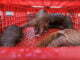 pangolins-trafficking-illegal-wildlife-trade