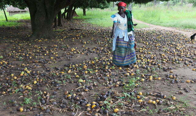 Mangoes rot away in Acholi over limited market