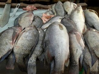 Busia fish traders decry high clearance costs, taxes